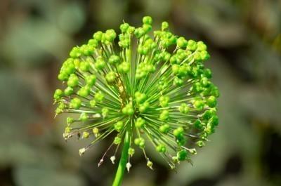 green-seed-head