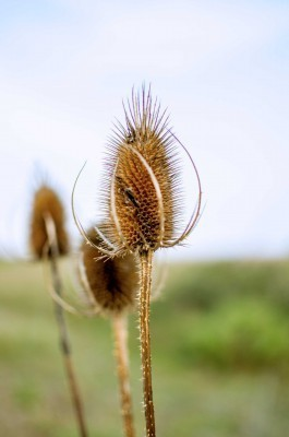 beach-grasses